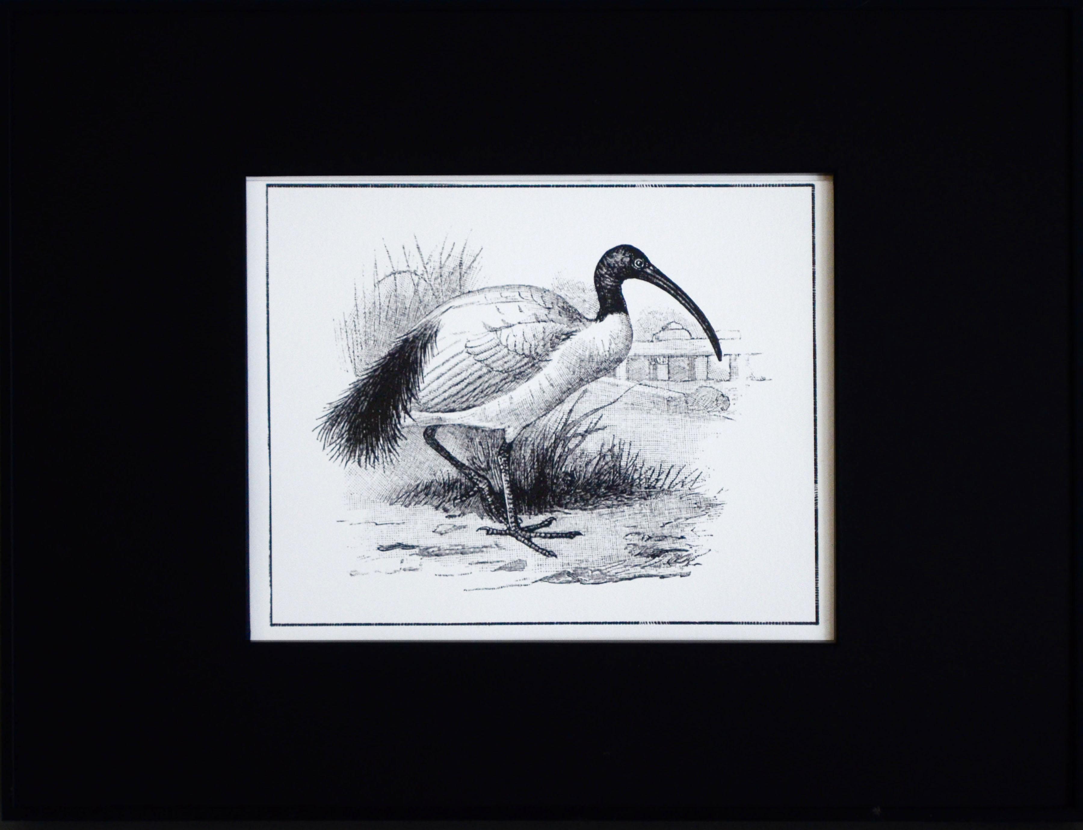 Madagascar sacred ibis